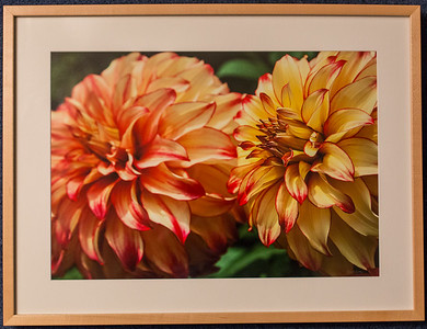 Dahlia #2: 19x25 Framed size with glass $50 (does not include sales tax or shipping).