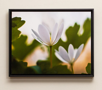 "SALE DETAILS:   12x15 Standout Mounted Print in Black Metal Frame (1"" deep)                             $50 (does not include sales tax or shipping).  Original price: $135  IMAGE DETAILS: 20130118-004 Bloodroot"