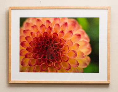 Dahlia #1: 19x25 Framed size with glass $50 (does not include sales tax or shipping).