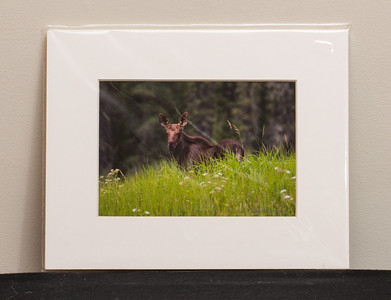 SALE DETAILS:   8x10 Matted print (in protective package)                             $10 (does not include sales tax or shipping).  Original price: $40/each  IMAGE DETAILS: 080406-018-1 Moose calf
