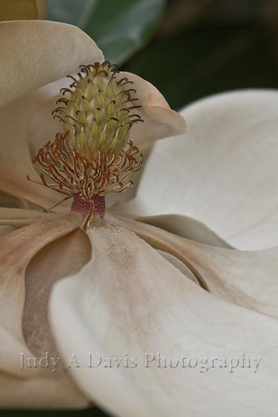 Fading magnolia in Aiken, SC