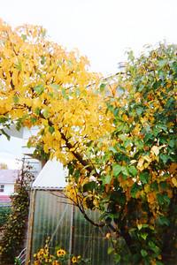 Sept /91 Backyard Apple Tree