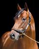 Shadwell.. Stallions :