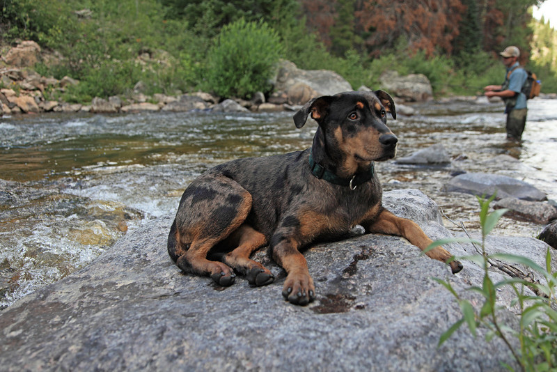A fly fisherman has good company on the Encampment river, Wyoming
