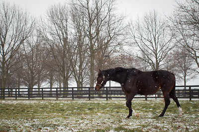 Rachel Alexandra enjoying a snowy day in January.  She is a few weeks away before her Curlin colt is due.