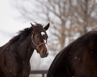 Rachel Alexandra at Stonestreet Farm 01.13.2012. Matt Wooley/EquiSport Photos