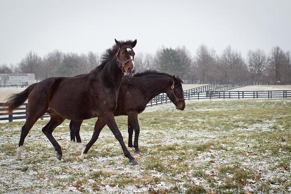Rachel Alexandra enjoying a snowy day in January.  She is a few weeks away before her Curlin colt is due.
