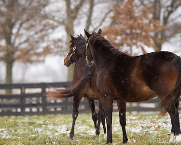Rachel Alexandra (front), and Hot Dixie Chick (near), at Stonestreet Farm, Lexington. 01.13.2012