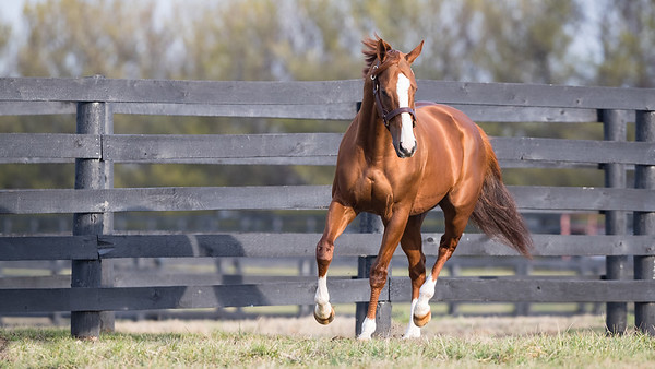 California Chrome at Taylor Made Farm 2.21.17