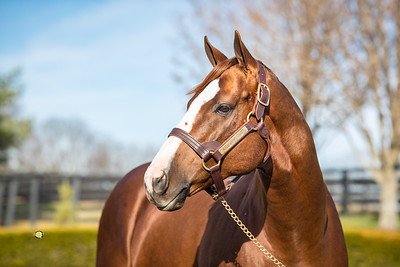 California Chrome at Taylor Made Farm, Nicholasville, Ky. 11/25/19