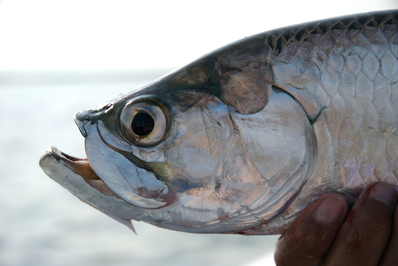 A close up of a Tarpon, Isla Holbox Mexico