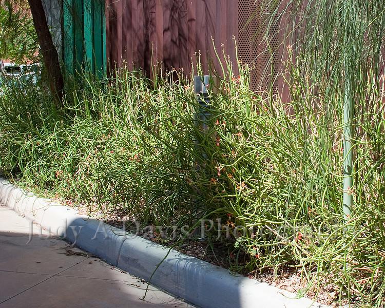 University of Arizona Campus Arboretum