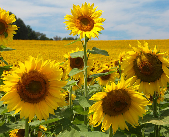 Sunflowers in Jarretsville