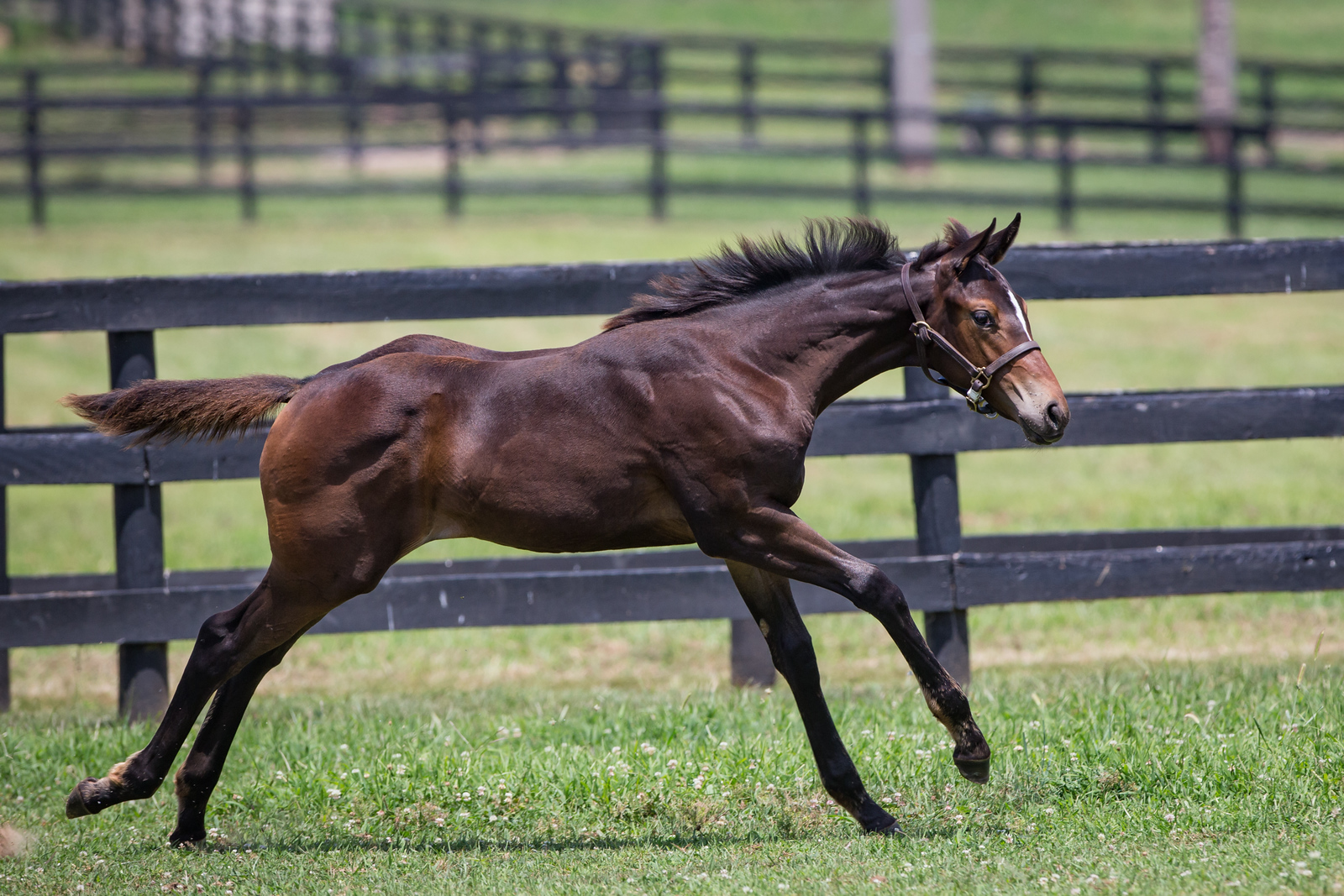 Majestic Perfection - Ivory Empress '17 foal at Maple Lane 7.31.17