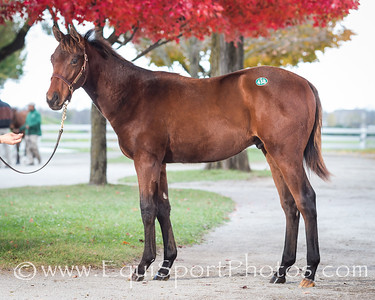 Hip #438, Drosselmeyer- Queen of Empire '13