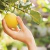 female hand breaks a lemon from tree branch