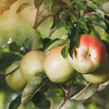 Apples in the apple orchard, close up