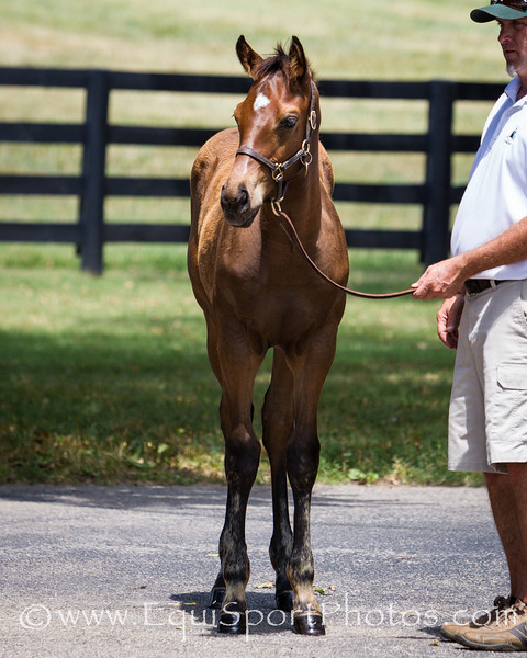Red Cognac Foal '12 at Vinery 7.17.2012