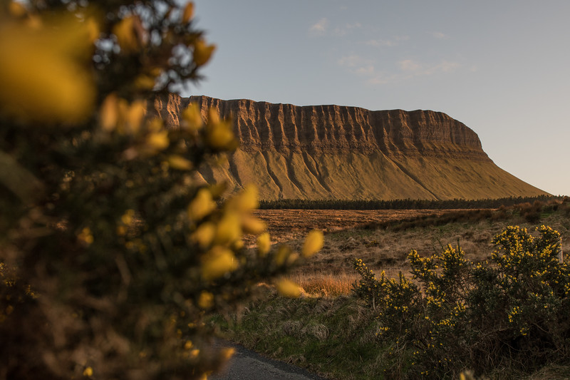 Yellow Furze and Benbulbin in County Sligo.  Irelands Table Mountain and part of the Dartry Mountain Range in Ireland.