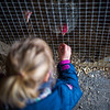 A girl feeds a turkey in a box at the zoo.