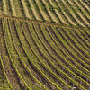 Rolling vineyards of South Africa.