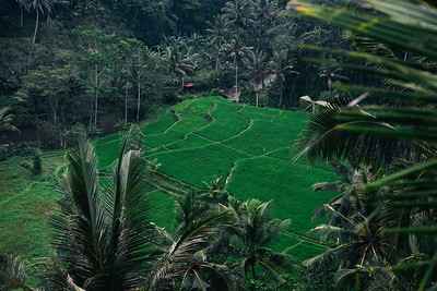 Rice fields and hills of Ubud, Bali, Indonesia.