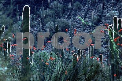 Sonora Desert, Arizona