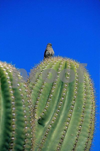 Catus wren, Sonora Dessert, Arizona