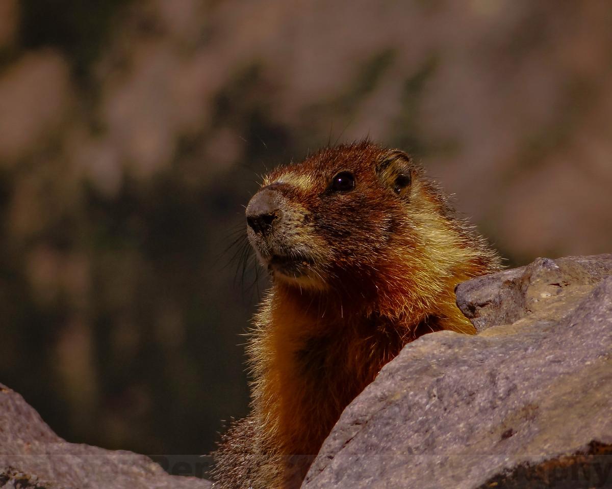Summit Marmot