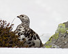 A very cooperative Ptarmigan.