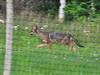 Coyote patrolling the perimeter