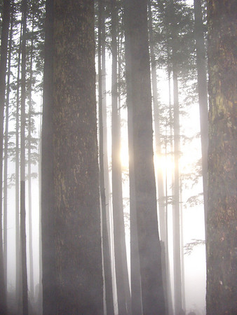 Trees and fog.