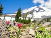 The Paintbrush flower with Mt Adams in the background.