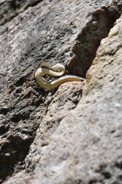 Tricia started up Absurdland one morning to find the first hold occupied.  He or she was coiled up in the hole at the time and not visible from the ground, so Tricia got a big surprise.  I suppose the snake did too.