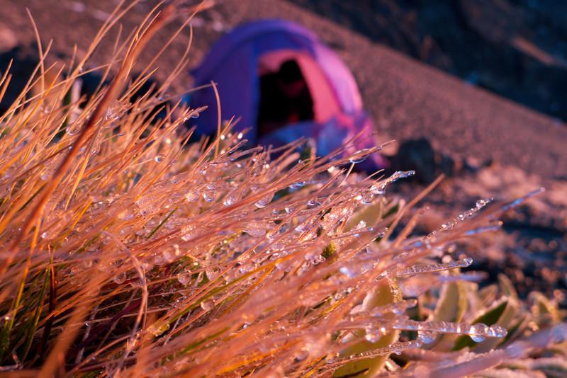 Frozen tussock grass