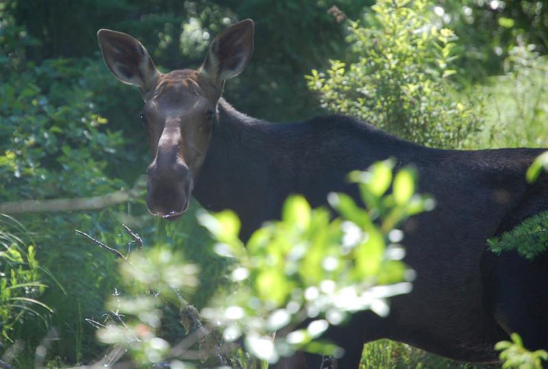 A moose, just off the Kancamagus Highway on the way to North Conway.