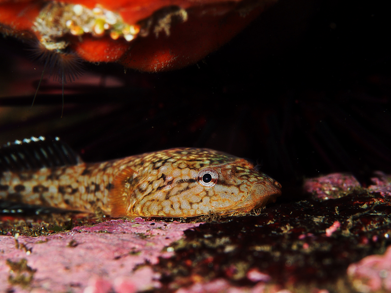 Northern Clingfish