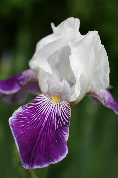 A-CO-Iris_in_the_Garden-EllisV jpeg