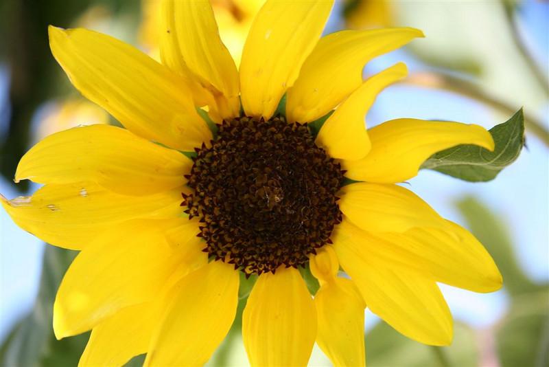 A-CO-Sunflower_in_Addie's_Garden-EllisV
