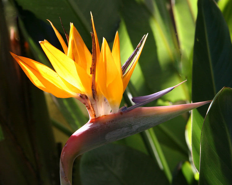 A-CO-Bird_of_Paradise-RiemerD