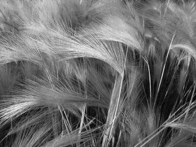 I-BW-Foxtail_Barley-HolmR