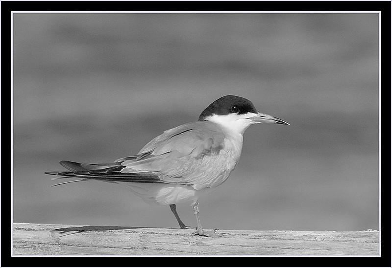 I-BW-Common_Tern-HagaM