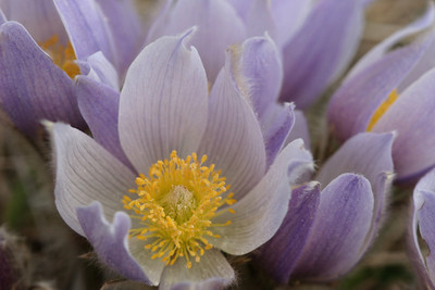A-CO-Prairie_Crocus-Rie