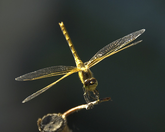 A-CO-Dragon_Fly-CarinoA