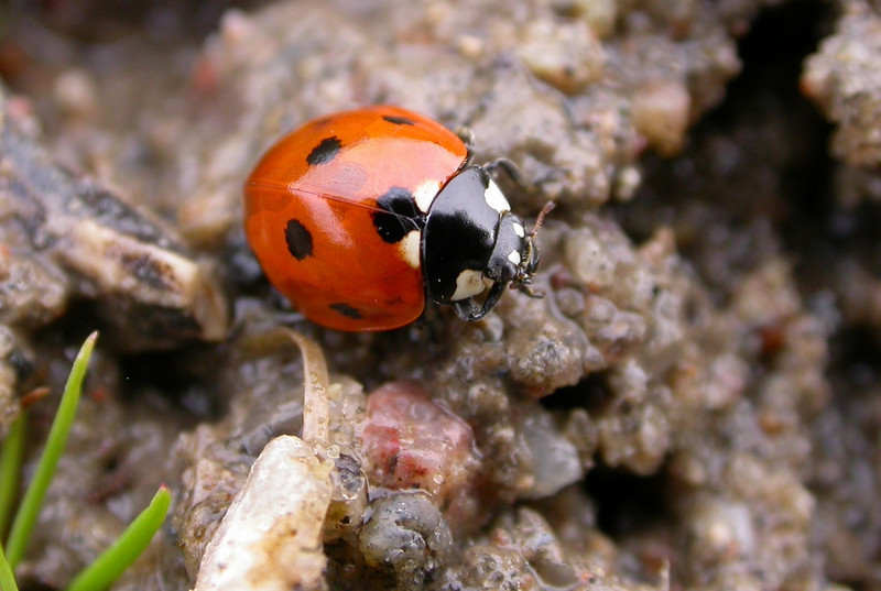 A-CO-Ladybug_on_the_water-BakkerS