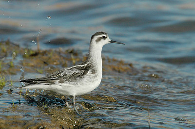 I-CO-Red-necked-Phalarope_HagaM