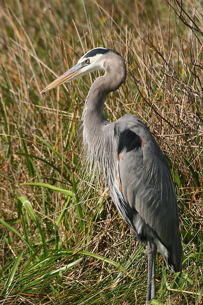 A-CO-Great_Blue_Heron-RiemerD