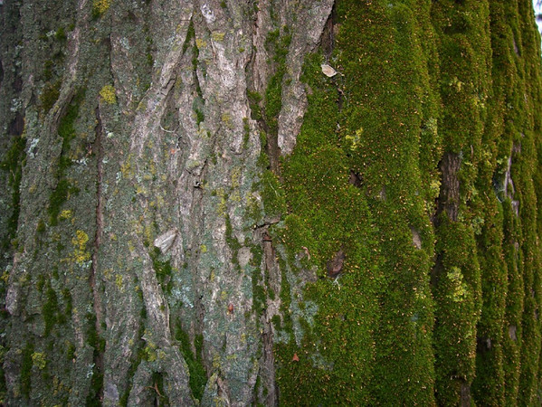 I-CO-Mossy_Tree-AndersonJ