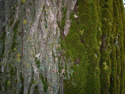 I-CO-Mossy_Tree-AndersonJ