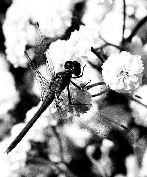 I-BW-dragonfly--ChshyolkovaT